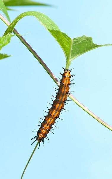 Gulf Fritillary Butterfly caterpillar