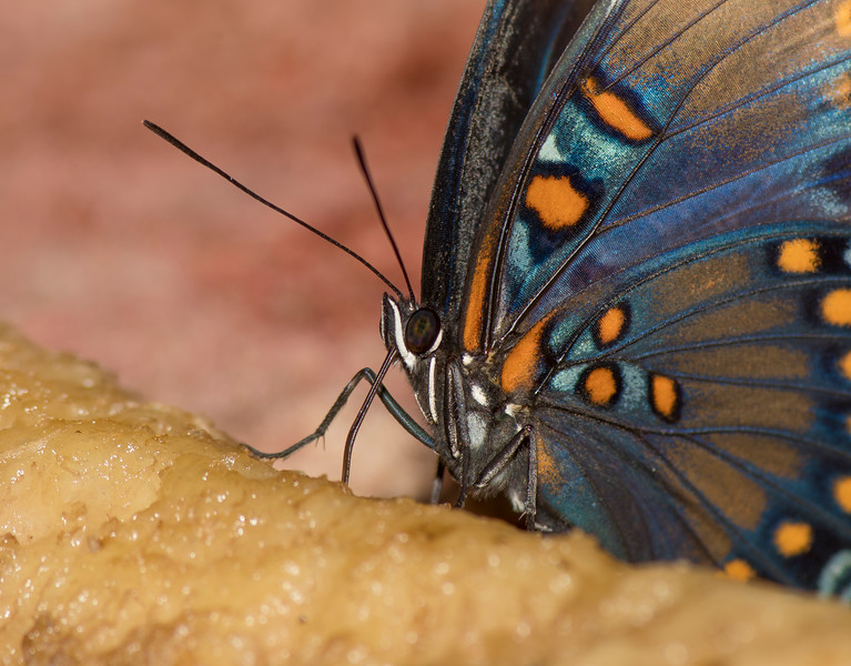 Red-spotted Purple on a banana