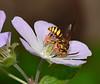 Wasp on Wild Geranium