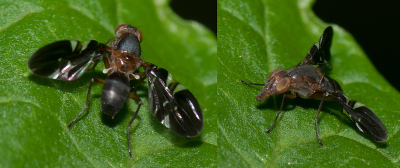 Picture-winged Fly (Tritoxa incurva)