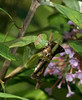 Praying Mantis eating a Silver-spotted Skipper