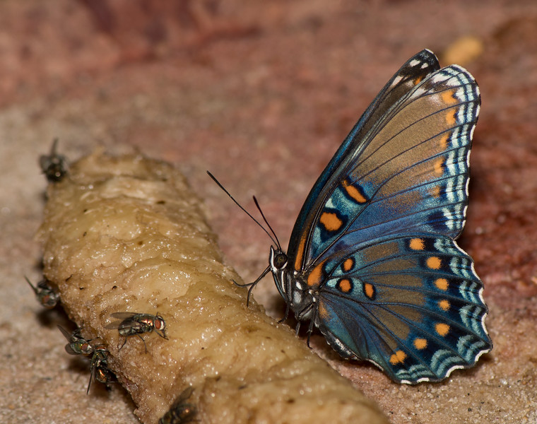 Red-spotted Purple on a banna