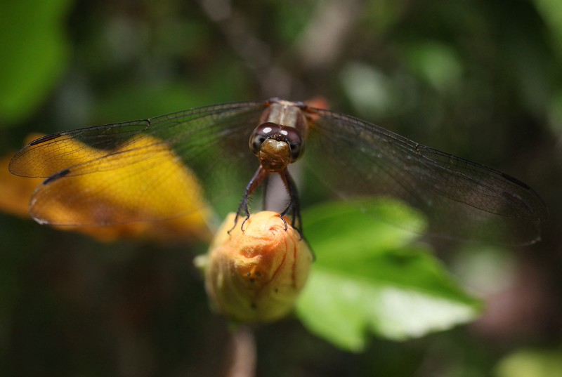 Dragonfly Coffs Harbour