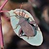 Tip Bug, Female (Amorbus), Mulligans Flat, Canberra, ACT