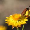 Lycid beetle, Net-winged beetle, Mulligans Flat, Canberra