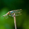 This is a blue dasher dragonfly. Taken at North Point State Park.