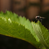 Fly on a blackberry leaf.  Canon XSi, 18-55 is with 12mm Kenko extension tube.