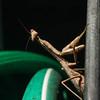 This brown praying mantis was hanging around on my hose reel.