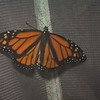 Monarch butterfly one day after emerging and just before we set it free.