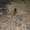 Cicada killer digging a burrow where it will bury a cicada and an egg.  The females are not aggressive and the males act aggressive but can't sting.