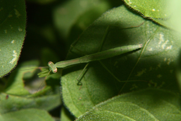 This praying mantis stayed on my oregano plant for weeks until it got too big.  This was when I first noticed it.  It is not even as big as the oregano leaf.