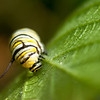 Monarch butterfly caterpillar on a milkweed leaf.