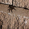 Wolf spider with babies on its back.