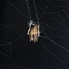 This spider was in its web by my front porch.  I took these pictures with the flash off-camera and a +2 diopter on my Tamron 70-300 VC lens.