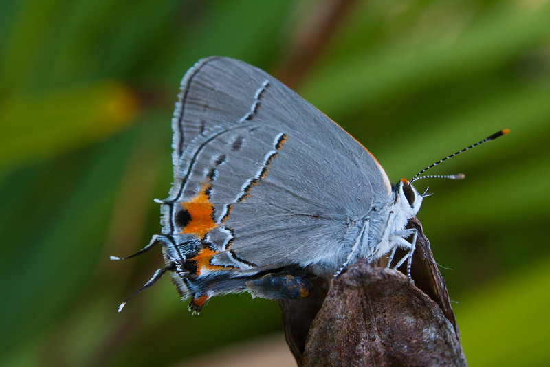 Gray hairstreak butterfly.  Taken in the early morning before it was warmed up enough to fly away.