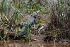 Alligator along a bank in the Savannah National Wildlife Refuge