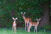 Mother Deer with two fawns