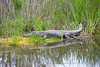 Alligator at Huntington Beach State Park in South Carolina