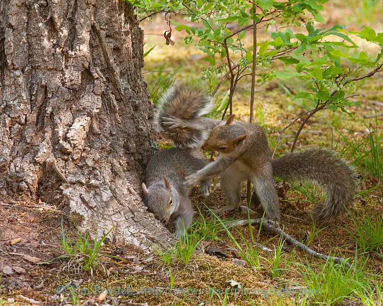 Two young squirrels at play