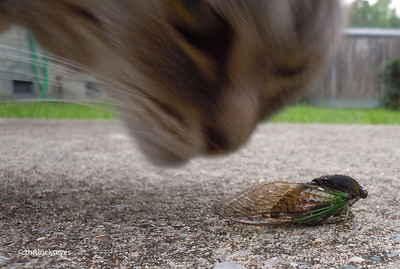 My cat and I found this annual cicada, aka jarfly, close to our house, He was probably near the end of his journey as he flapped his wings for all he was worth but never got off the ground. He did manage to rattle himself off the concrete and into the grass, the last I saw of him.