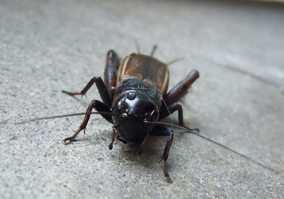 A cricket I saved from our cat's water bowl.