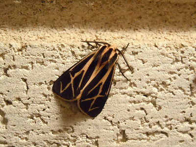 I really like this moth.  He was by the outside light in back of the house.