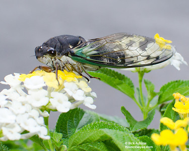 Whenever I find an annual cicada, or jarfly, within my reach, I have a really strong urge to pick it up and make a photo of it. This fellow didn't put up much of a fight when I placed him on these flowers.