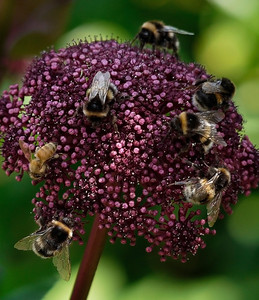 Bees on Angelica Gigas plant