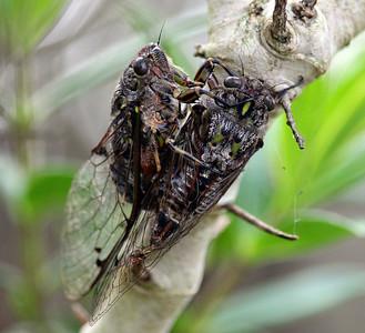 Cicadas Mating