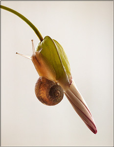 Holding On- Common Garden Snail
