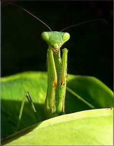 Mantis Pose