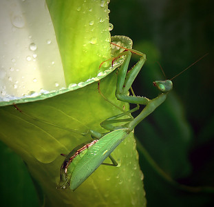 Praying Mantis - female