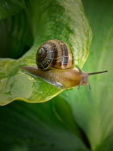 The Common Snail