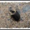 Carrion Beetle - Necrophila americana - Lr. Sackville, NS