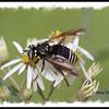 Spilomyia fusca (Syrphid Fly) -Bald-faced hornet mimic - Pockwock Lake, NS