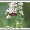 Flower Longhorn (Typocerus velutinus) - Pockwock Lake, NS