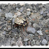 Leaf Beetle - Chrysomelidae multipunctate ? - Pockwock Lake, NS