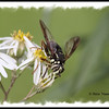 Spilomyia fusca (Syrphid fly) - Bald-faced hornet mimic - Pockwock Lake, NS