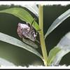 Cicada - Pockwock Lake, NS