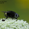 Tachinid Fly (Belvosia borralis)