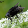 Tachinid Fly (Belvosia borealis)