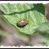 Leaf Beetle - Colorado Potato Beetle - River Bourgeois, Cape Breton NS