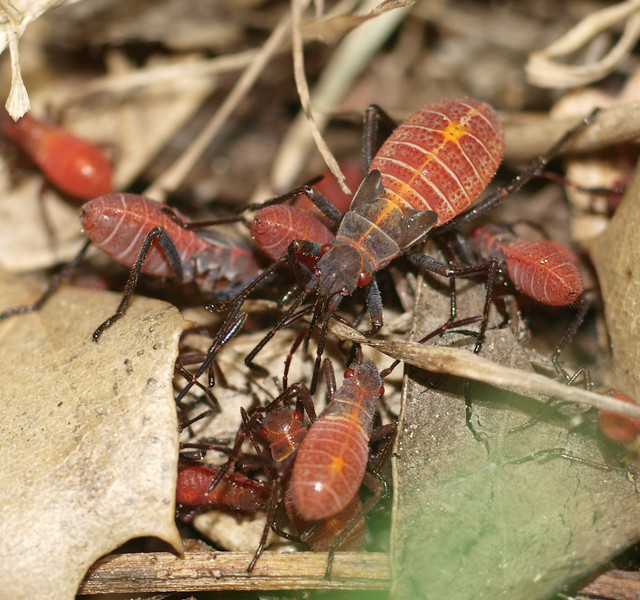 Boxelder bugs, juvenile, grouped to feed