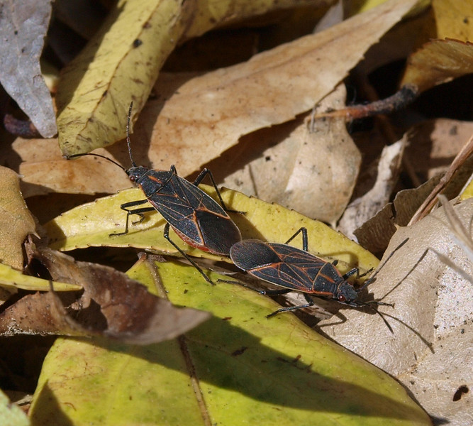 Boxelder bugs, copulation
