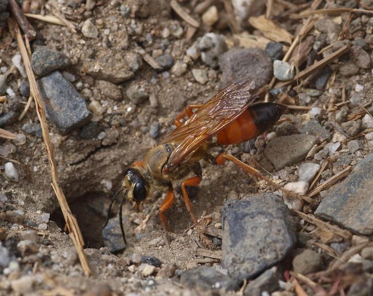 Golden digger wasp (sphex ichneumonia)