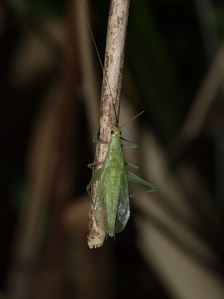 Snowy tree cricket