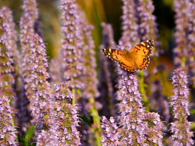 A Butterfly In The Flowers