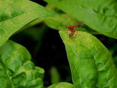 Spinach & Hymenoptera