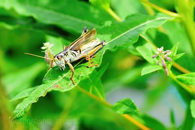 Grass Hopper,