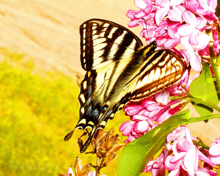 A Swallowtail Butterfly Imbibing Nutrients